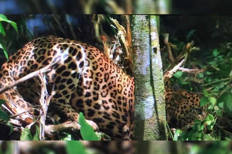Leopard trapped in a farm at Wayanads Sulthan Bathery