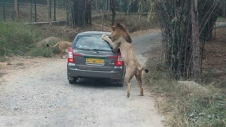 Lion attacks same safari vehicle in Bannerghatta Park again were authorities sleeping