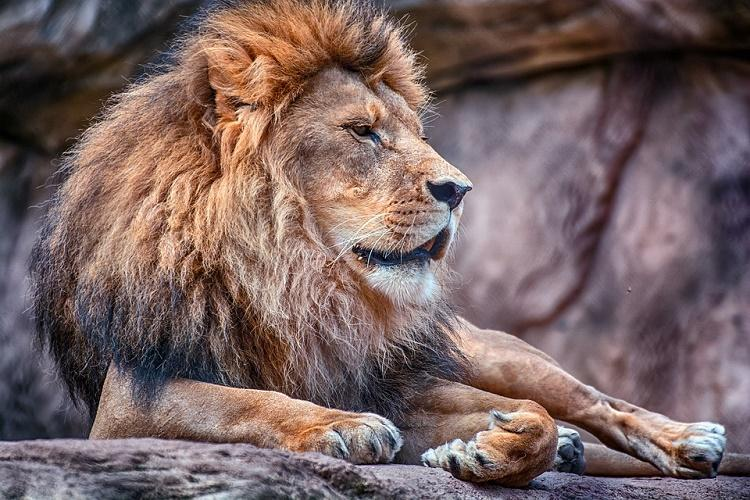 Lions are introverts and knowing that could save your life