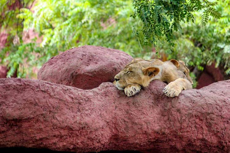 Lion cub is sleeping in zoo
