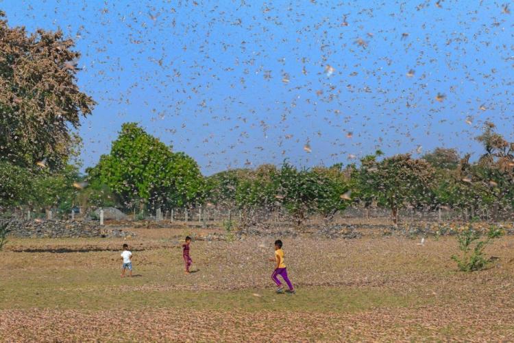 Children play amid swarms of locusts at Fatehgarh Salla village near Beawar Ajmer district Rajasthan