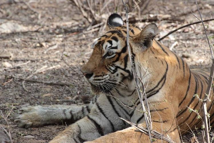 Ranthambore Tiger Reserves pride Machli dies at 19