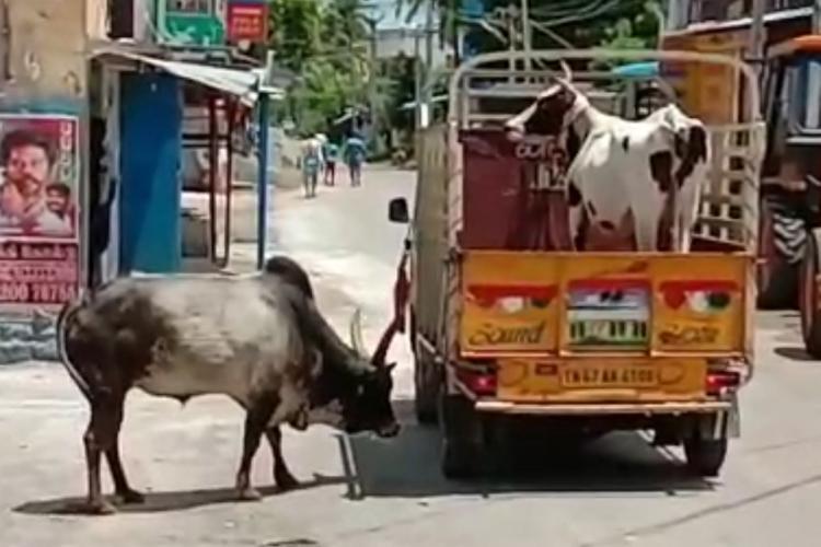 Manjamalai a bull circles a vehicle carrying Lakshmi a cow in Tamil Nadus Madurai district