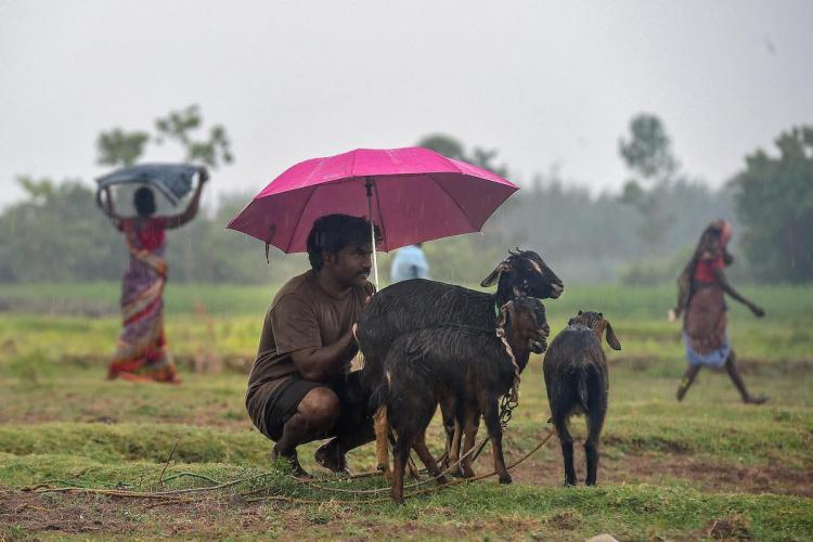 A man along with his goats sit under an umbrella during rain, on the outskirts of Chennai