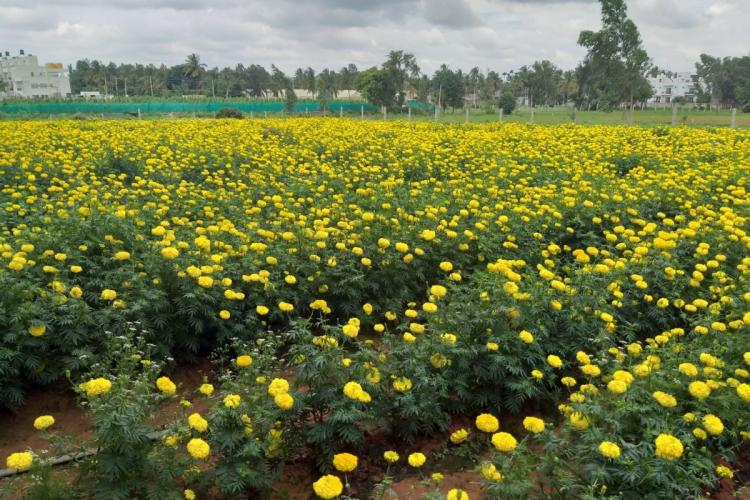 Marigolds grown using the wastewater