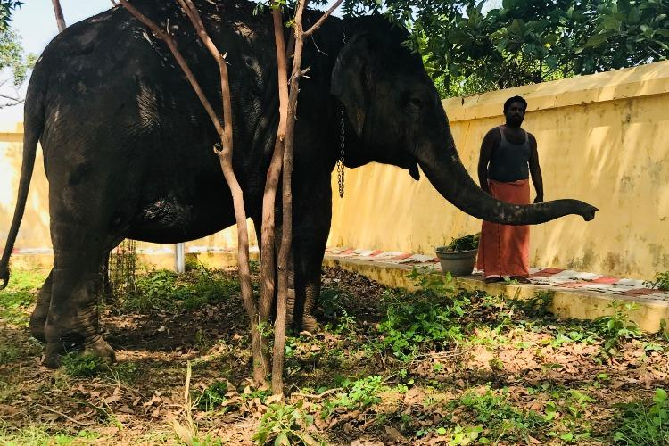 Female ♀ Asian elephant (Elephas maximus) Masini at Thanjavur Veterinary College and Research Institute