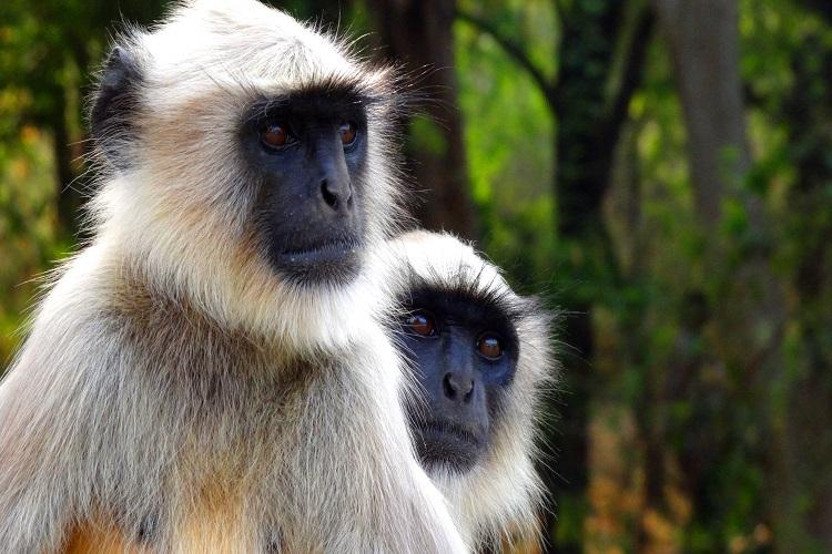 Monkey business in UP Animal drives bus briefly causes panic