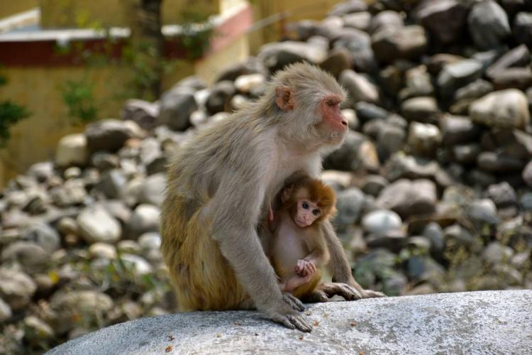 A monkey and its child sitting on a rock