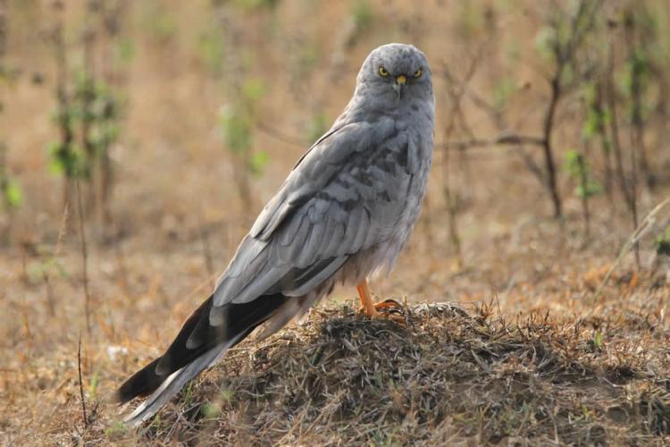 Migratory bird Montagu's Harrier may lose habitat with new airport in Shivamogga