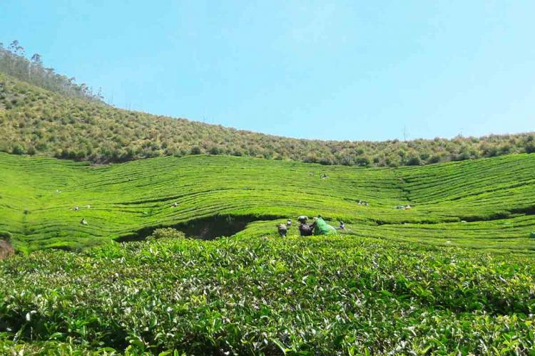 Plantation workers working in a tea estate near Munnar