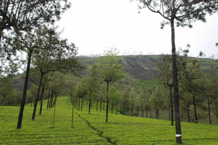Tea plantations in Munnar with a hill in the background