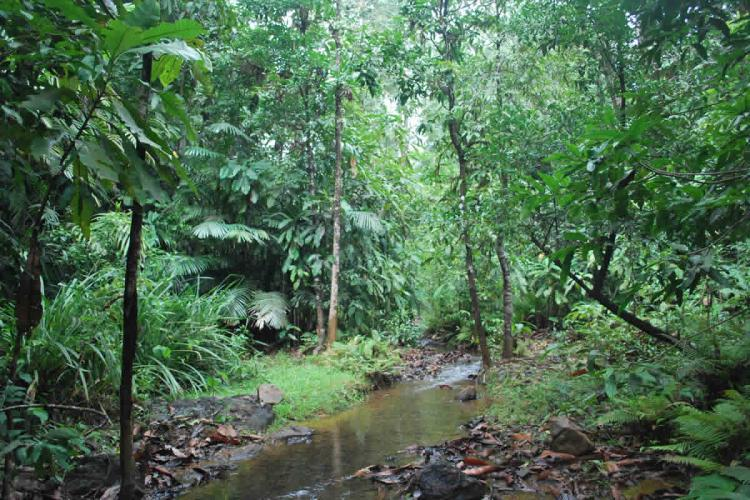Myristica swamps in Karnataka with a small stream flowing between plenty of tall trees