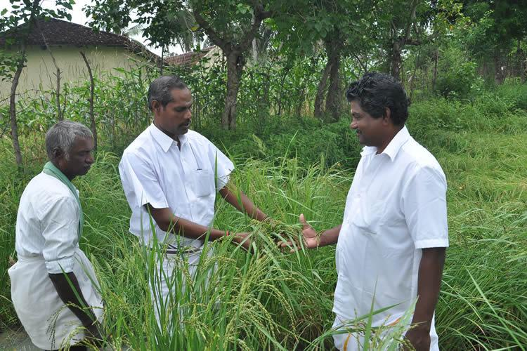 Reviving indigenous seeds A silent revolution in Indias rice growing states