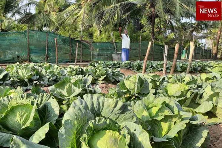 Vegetable farm in Nettukaltheri