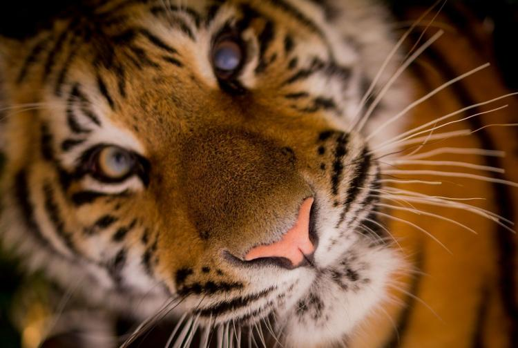 Tiger face close up