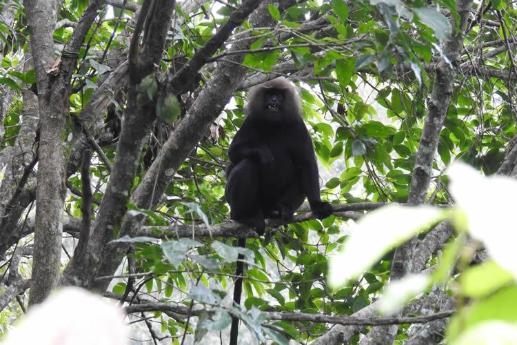 Habitat loss and poaching threaten the survival of the elusive Nilgiri langur