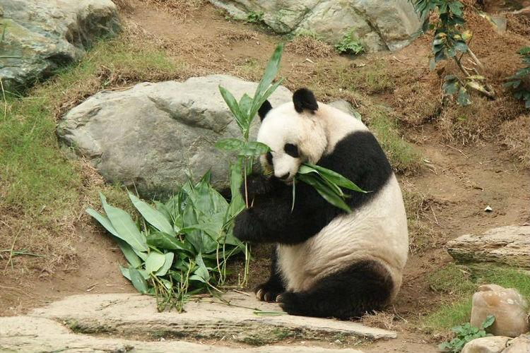 Worlds oldest giant panda dies at 38