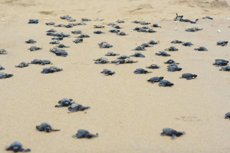 Olive Ridley hatchlings on the beach