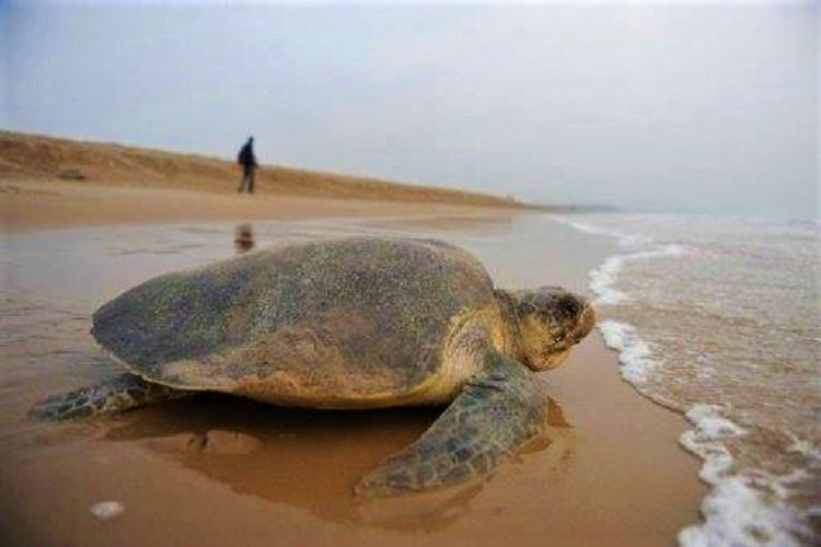 More Olive Ridley turtles wash up dead at Vizag beach But dont panic say activists