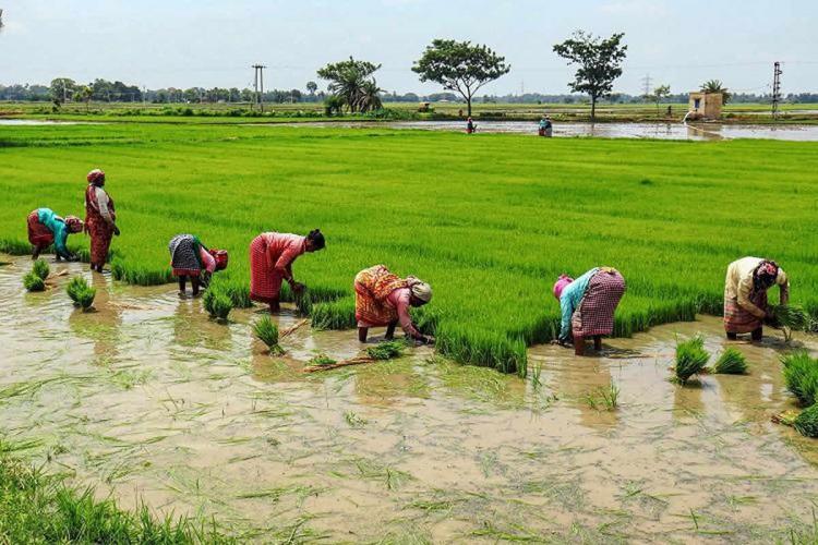 Women farmers working in paddy field