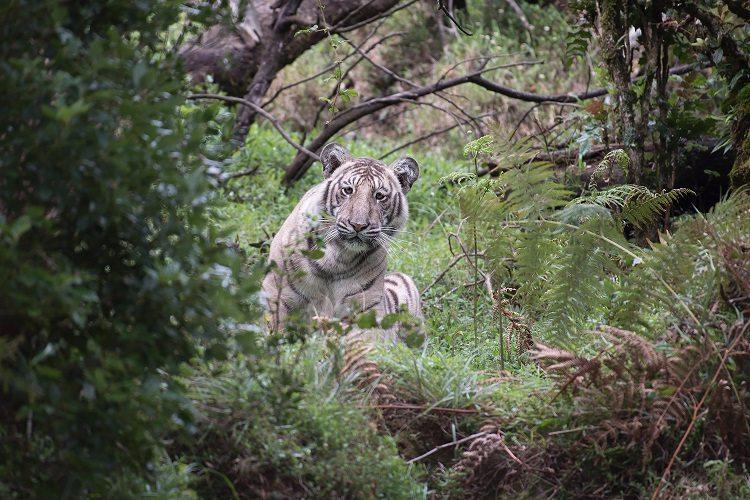 Bengaluru man spots rare pale tiger in the Nilgiris