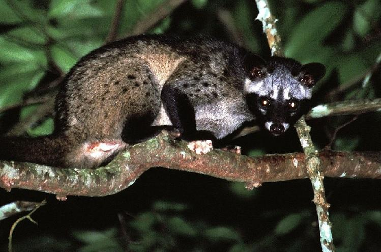 Kozhikodes palm civets give Priyanka Gandhi a scare but it points to an ecological crisis