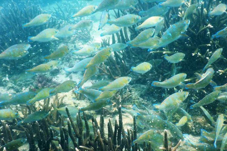 Parrot Fish abundance Thoothukudi caost during lockdown