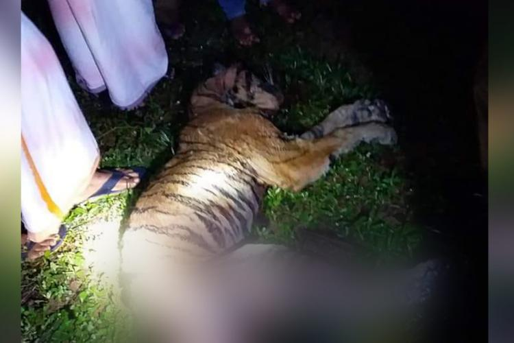 Severely sick female tiger died in Pathanamthitta