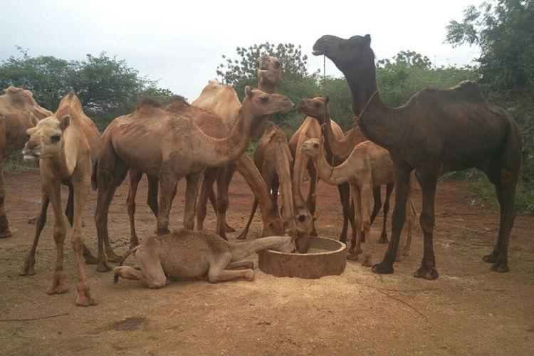 Forced to walk from Rajasthan to Telangana for slaughter these rescued camels need your help