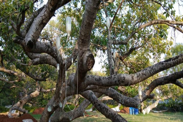 To save 700-year-old Banyan tree Telangana officials put it on drips