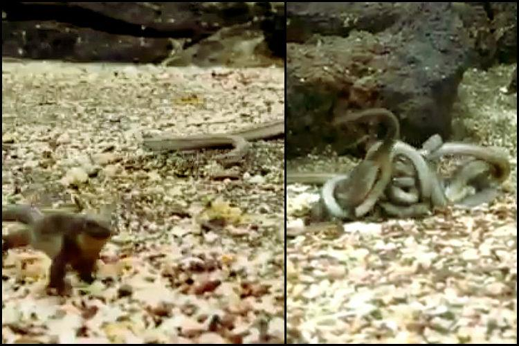 Action films dont get better than this baby iguana chased by racer snakes