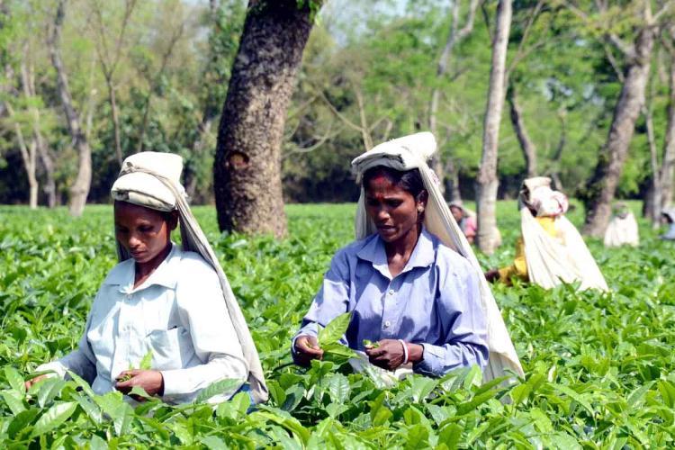 Representative image of two women plucking tea leaves in tea estates