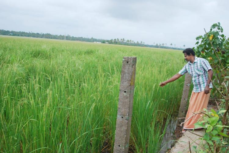 Man wearing a blue shirt and orange veshti next to a green paddy field