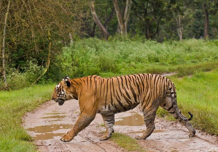 Was a 14-year-old tiger in Bandipur killed by poachers Officials maintain it was natural death