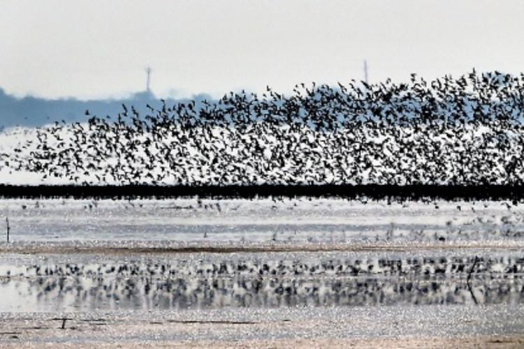 Birds flying from the Pulicat lake