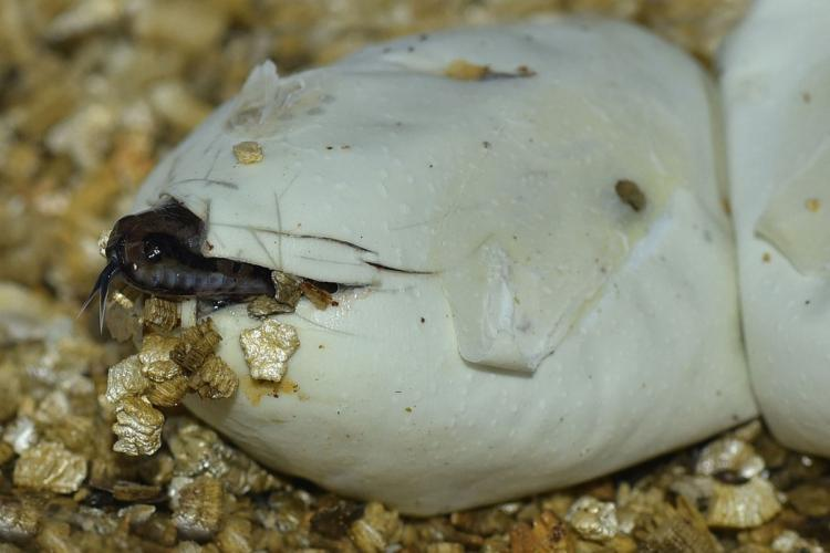 Construction work stopped in Kerala to hatch python eggs