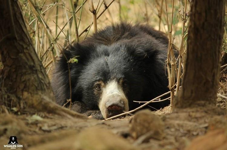 7 years after rescue Indias last dancing bear finally recovers in Bengaluru