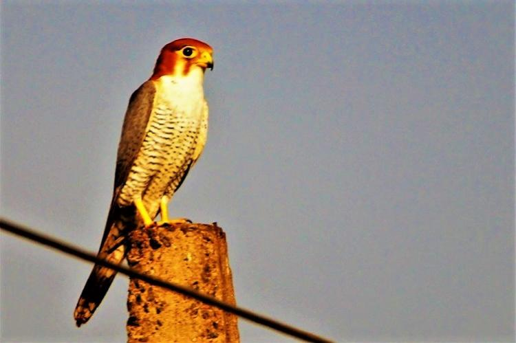 A rare sighting Red-necked falcon spotted in Vizag