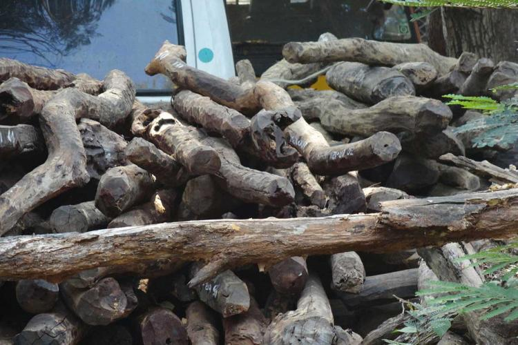 Chopped sandalwood logs kept on top of each other