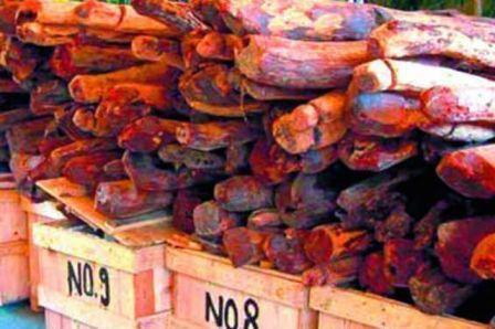 23 red sander logs seized smuggler nabbed by forest officials in Andhra