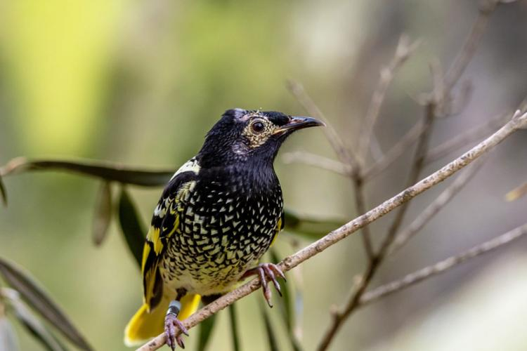 Why an endangered bird species has changed its song