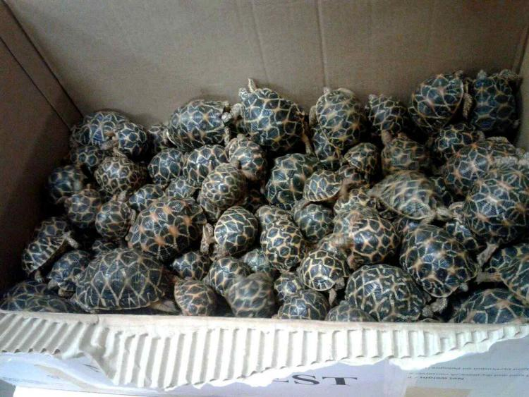 210 baby star tortoises rescued in Chennai But why are they smuggled to begin with