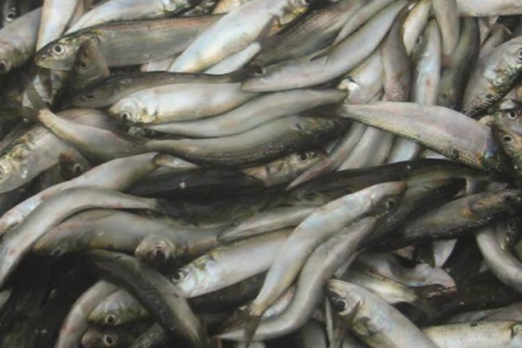 Sardine fishes