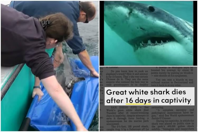 Watch Many great white sharks have died in aquariums heres why they cant survive in captivity