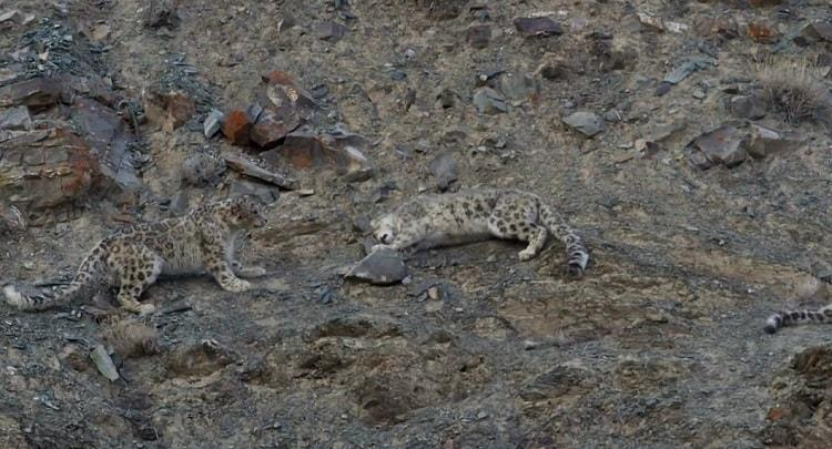 The controversy over the rape of a snow leopard that actually was not