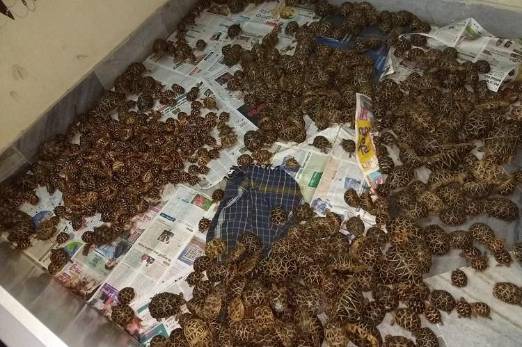 1125 Indian star tortoises seized at Vizag railway station 3 arrested by DRI