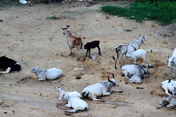 Animal Welfare Board asks states to build hostels for stray cows dogs