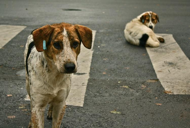 Watch Distressing incident of stray dogs attacking two Bengalureans caught on camera