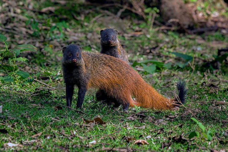 Andhras Polavaram dam threatens rare mongoose species in the area