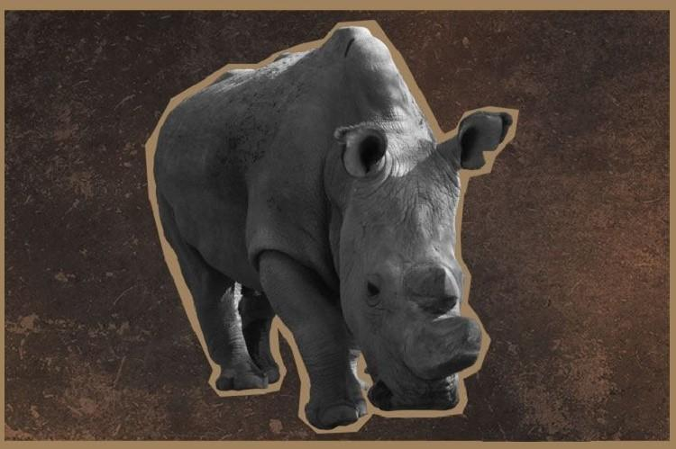 The worlds last male northern white rhino is on Tinder and you better swipe right